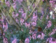 – Kępa ciemnofioletowych wrzośców, Praecox Rubera. Ich kwiaty potrafią zakwitnąć nawet w styczniu. Mimo łagodnej zimy w tym roku rozkwitły z początkiem marca – wyjaśnia Bojerczuk. Doktor pokazuje jeszcze karminowe wrzośce Eryka Karnea. Na razie nie kwitną. Ale były lata, gdy ich czerwone kwiaty rozkwitły, gdy na krzewach leżał jeszcze śnieg