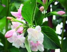 Krzewuszka cudowna obsypuje się kwiatami wiosną. Zdarza się, że pod koniec lata zakwitnie ponownie.
