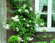Róże rozkwitają już w maju.