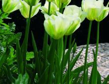 Wiosną ogród ozdobią tulipany.