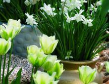 Tulipany i żonkile pięknie wyglądają w ozdobnych donicach.