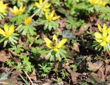 Z oddali widać złociste łąki utworzone z rannika zimowego. Ta wieloletnia roślina pochodzi z rodziny jaskrowatych. Jej łacińska nazwa to Eranthis hyemalis (gr. er – 'wiosna', gr. anthos – 'kwiat', łac. hyems – 'zima'). Na dziko rośnie w południowo-zachodniej części Europy. Spotkać ją można również w Europie Środkowej oraz w Azji, w Turcji i Iraku. W Polsce rzadko się ją uprawia. Nadaje się jako roślina zadarniająca